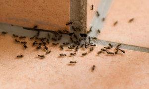 Ongediertebestrijding mieren