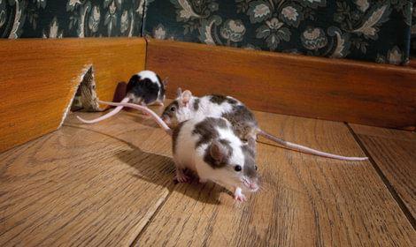 rennende muizen