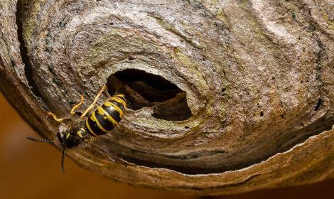 wesp bij wespennest